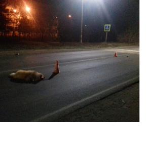 наезд на собаку водитель без прав