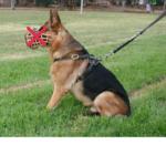 собака на поводке, но без намордника