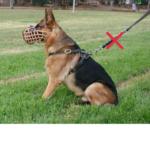 собака в наморднике, но без поводка