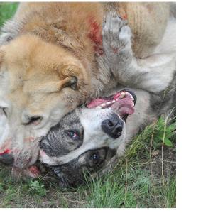 драка собак ответственность