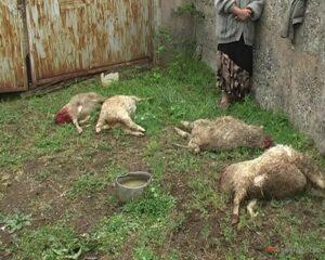 собаки загрызли овец
