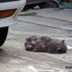 Кошку сбил автомобиль