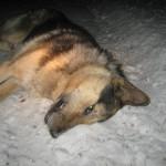 Ответственность за наезд на собаку
